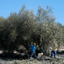 Castillo De Pinar Olive Oil Harvested By Hand